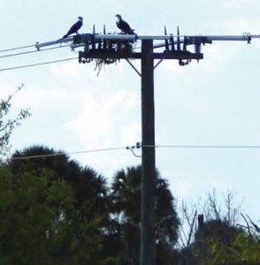 Raptors perching on distribution line. distribution systems,pollution & wildlife, porcelain, insulators,insulator, power, distribution, contamination Resolving Problems on Distribution Systems from Pollution & Wildlife Topic 1 July 20 002 294x300