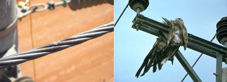 Example of 'stranding' damage to conductor.Dead bird falls away from contact area. wildlife Protecting Overhead Lines & Substations from Wildlife Induced Outages tpc2 00002