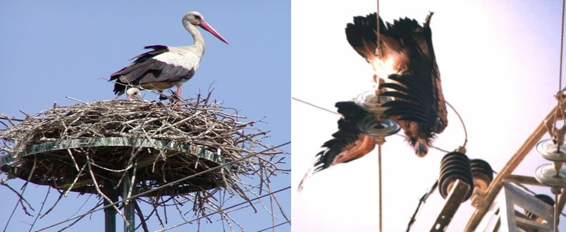 Migratory stork nesting in Greece and griffon vulture fatally bridging line in Israel. wildlife Protecting Overhead Lines & Substations from Wildlife Induced Outages tpc2 00005