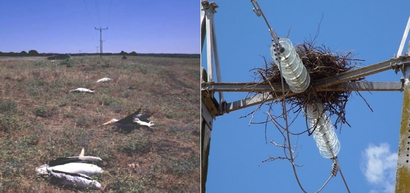 Pelicans dead from clashing conductors in Israel and nest likely to cause flashover in Spain. wildlife Protecting Overhead Lines & Substations from Wildlife Induced Outages tpc2 00006
