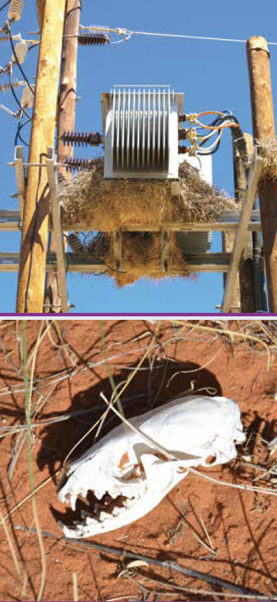 Bird nesting on this structure attracted scavenger, whose skull on ground below tells how it met its fate. wildlife protect Wildlife Protective Devices Aim to Reduce Outages Screen Shot 2016 06 10 at 13